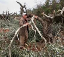 الاحتلال يقتلع مئات أشجار الزيتون